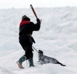 baby seal clubbed to death