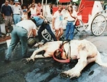 collapsed carriage horse