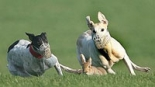 greyhounds hare coursing