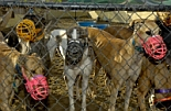 caged muzzled greyhounds