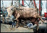 cow in a net being unloaded from a boat