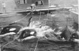 an orca capture operation in the USA 1970