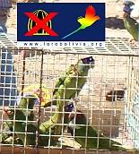 Caged parakeets