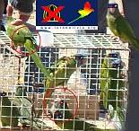 Caged and feather cut parakeets